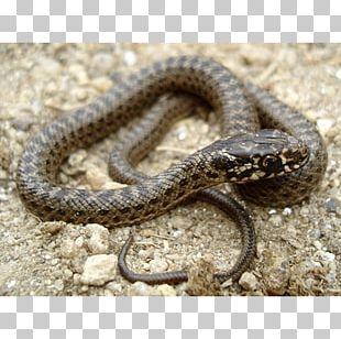 Sidewinder Kingsnakes Hognose Snake Grass Snake PNG