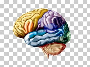 Lobes Of The Brain Cerebral Hemisphere Frontal Lobe Parietal Lobe PNG