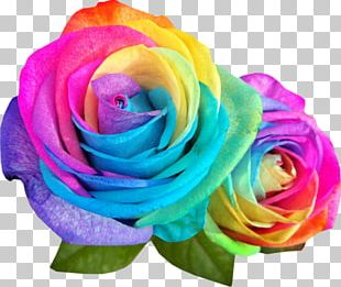 Rainbow Rose Garden Roses Flower Color PNG