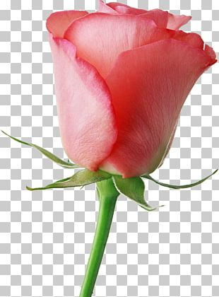 Flower Livre Brasil Valentine's Day Rose Gift PNG