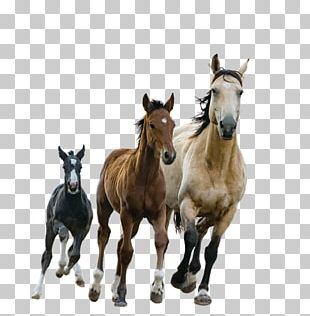 Foal American Paint Horse Arabian Horse Mare Stallion PNG