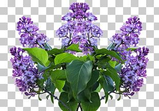 Common Lilac Flower Shrub Garden PNG