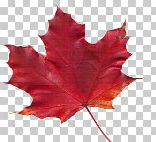 Canadiana Inn Maple Leaf PNG
