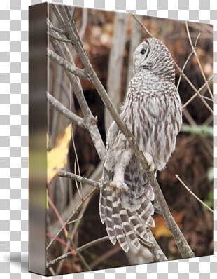 Owl Fauna Hawk Feather Beak PNG