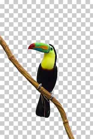 Parrot Bird Toco Toucan PNG