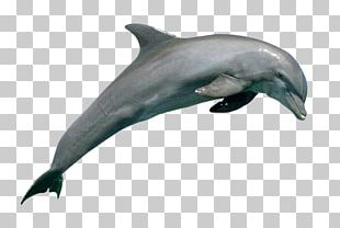 Common Bottlenose Dolphin Rough-toothed Dolphin Wholphin Short-beaked Common Dolphin Tucuxi PNG