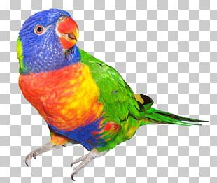 Rainbow Lorikeet Parrot Bird Budgerigar Dog PNG