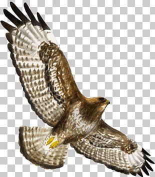 Hawk Bird Of Prey Buzzard Eagle PNG