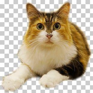 European Shorthair Munchkin Cat Manx Cat American Curl Ragamuffin Cat PNG