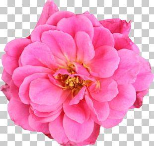 Garden Roses Cabbage Rose Cut Flowers Floribunda PNG