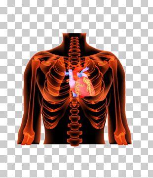 Human Body Human Skeleton Bone Anatomy PNG