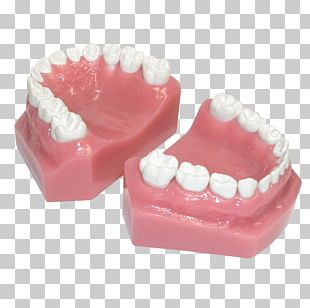 Human Tooth Pediatric Crowns Posterior Teeth PNG