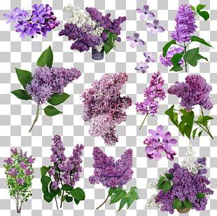 Lilac Flower Purple Violet PNG