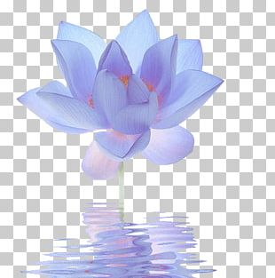 Nelumbo Nucifera Egyptian Lotus Flower Blue Lilium PNG