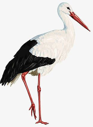 White Red-crowned Crane PNG