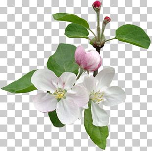 Apples Flower Stock Photography Tree Blossom PNG