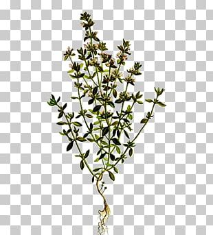 Garden Thyme Breckland Thyme Lamiaceae Essential Oil PNG