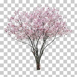 Cherry Blossom Tree East Asian Cherry PNG