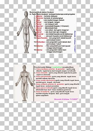 Homo Sapiens Shoulder Human Anatomy Human Body PNG
