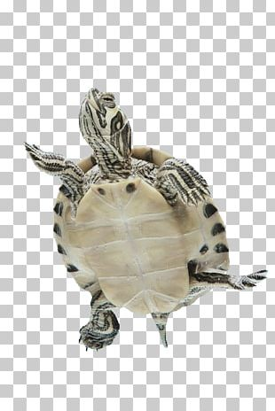 Box Turtles Sea Turtle Tortoise Reptile PNG