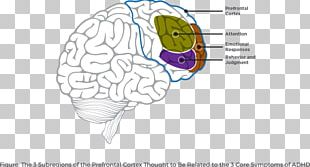 Lobes Of The Brain Attention Deficit Hyperactivity Disorder Prefrontal Cortex Frontal Lobe PNG