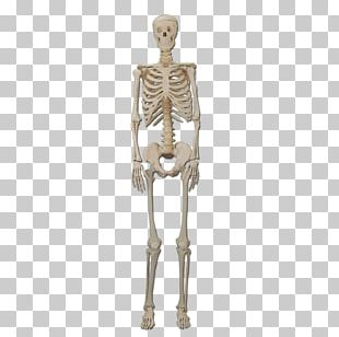 Human Skeleton Bone Human Body Organ PNG