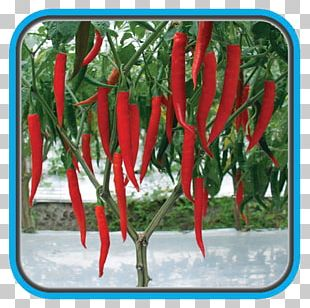 Chili Pepper Crop Bird's Eye Chili Maize Benih PNG