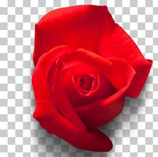Garden Roses Rosa Chinensis Beach Rose Red Floribunda PNG
