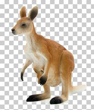 Red Kangaroo Macropodidae Eastern Grey Kangaroo Western Grey Kangaroo Antilopine Kangaroo PNG