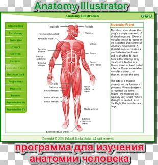 Muscle Homo Sapiens Human Body Muscular System Anatomy PNG