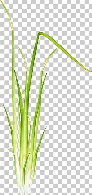 Herbaceous Plant 2403 (عدد) Allium Fistulosum PNG
