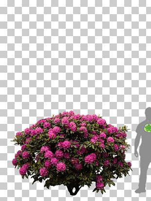 Rhododendron Shrub Flower Azalea Tree PNG