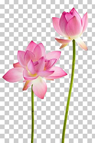 Water Lily Nelumbo Nucifera Flower Stock Photography PNG