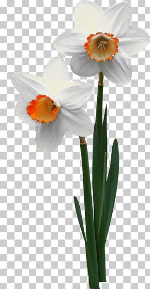 Jonquille Flowerpot Narcissus ×incomparabilis PNG