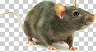 Brown Rat Mouse Rodent Laboratory Rat Cockroach PNG