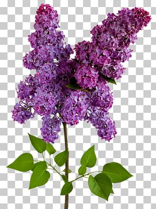 Lilac Wisteria Flower PNG