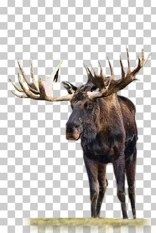 Moose Reindeer Roe Deer Animal PNG