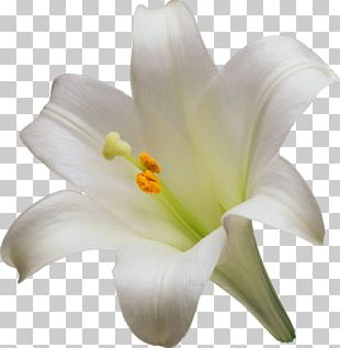 Easter Lily Lilium Candidum Tiger Lily Flower Liliaceae PNG