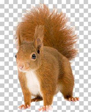 Chipmunk Red Squirrel Rodent PNG