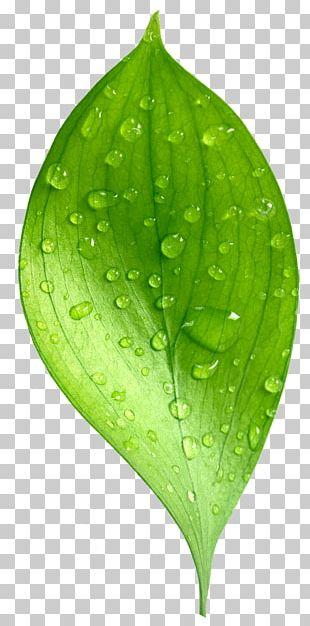 Leaf Dew Natural Environment Drop PNG