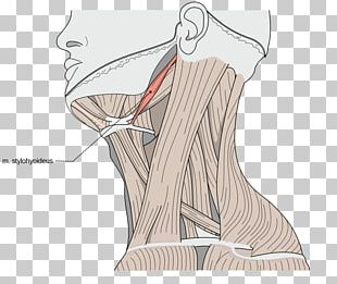 Sternocleidomastoid Muscle Omohyoid Muscle Human Body Muscular System PNG