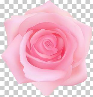 Garden Roses Centifolia Roses Blue Rose PNG