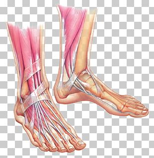 Foot Anatomy Muscle Ankle Bone PNG