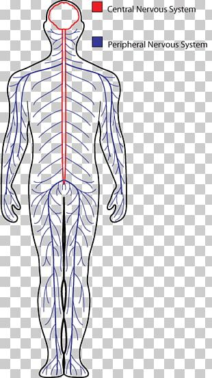 Central Nervous System Drawing Peripheral Nervous System Human Body PNG