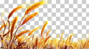 Wheat Gold PNG