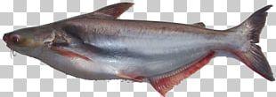 Iridescent Shark Fish Basa Food Clarias PNG