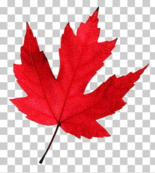 Autumn Leaf Color Maple Leaf Red Maple PNG