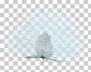 Bird Asiatic Peafowl White PNG
