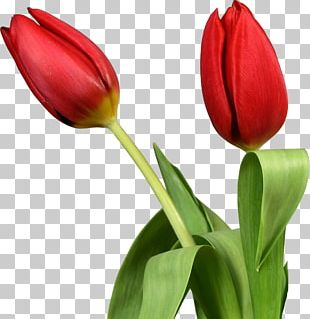 Tulip Desktop Flower PNG