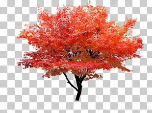 Red Maple Autumn Leaf Color Tree PNG